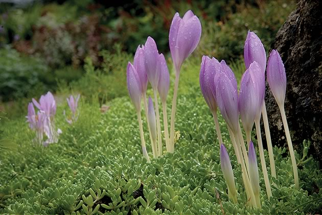 Purple-blooming Colchicum bulbs bring a spring freshness to the autumn garden. Photo by Rosemary Hasner / Black Dog Creative Arts.