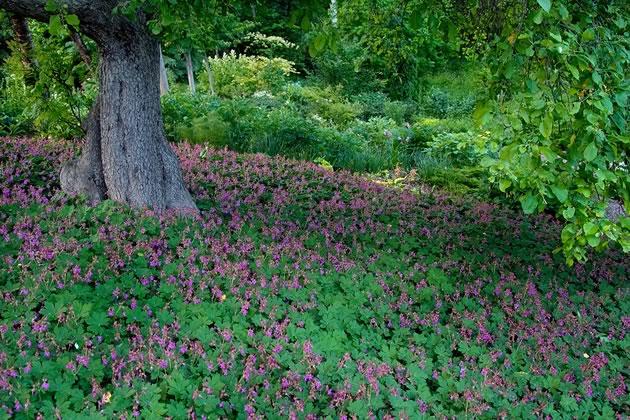 A sea of Geranium macrorrhizum 'Ingwersen's Variety' makes magic beneath an old apple tree. Photo by Rosemary Hasner / Black Dog Creative Arts.