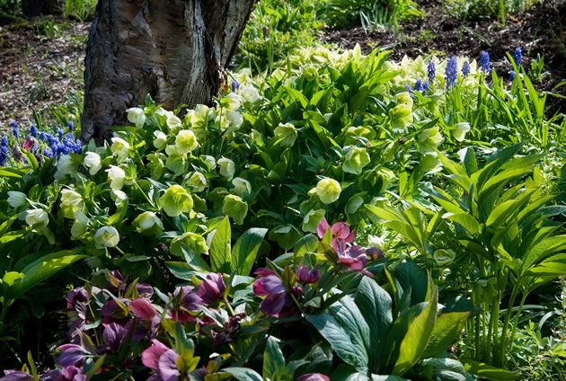A thick patch of hybrid hellebores in all their glory. Photo by Rosemary Hasner / Black Dog Creative Arts.