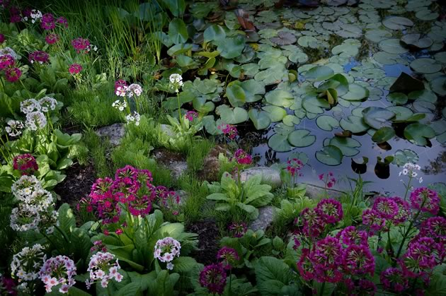 A close-up of a pond's Primula japonica and lily pads. Photo by Rosemary Hasner / Black Dog Creative Arts.
