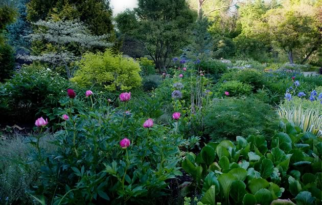 Pink peonies sit tall in the Korean pine bed, sharing space with lime-green dogwood to the left and variegated iris to the right. Photo by Rosemary Hasner / Black Dog Creative Arts.