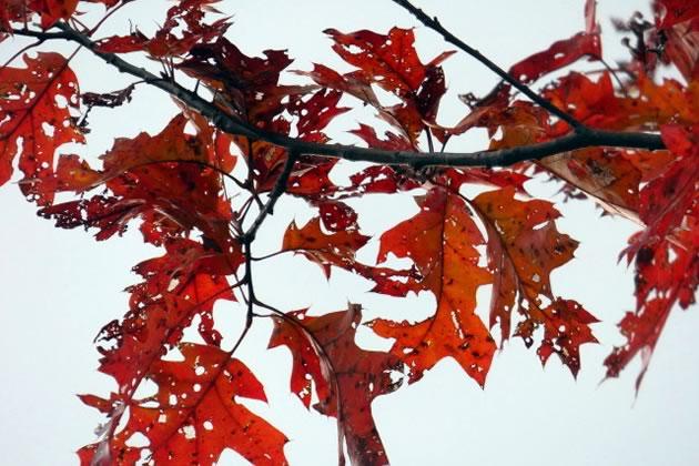 Oak leaves caterpillar food