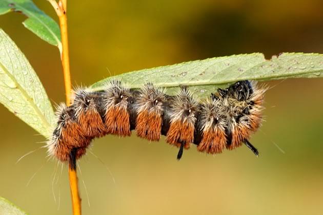 bird food, fingered dagger caterpillar on willow
