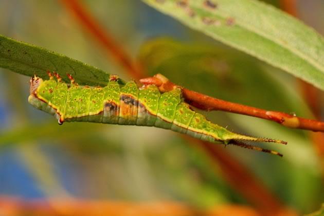 bird food, furcula caterpillar on willow