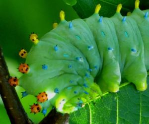 Cecropia caterpillar on choke cherry.