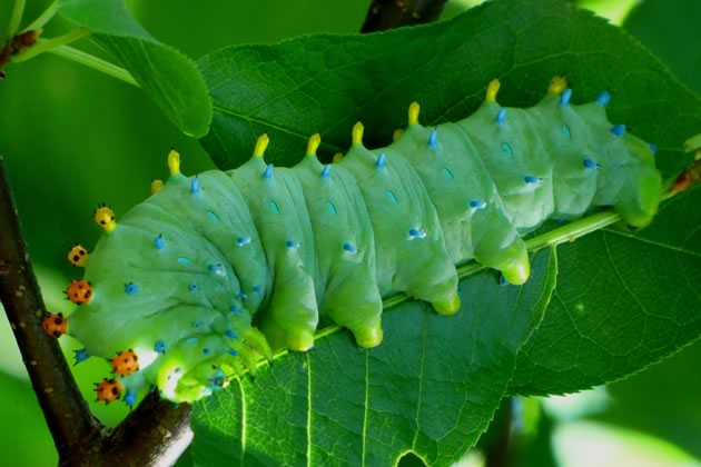 cecropia caterpillar on choke cherry