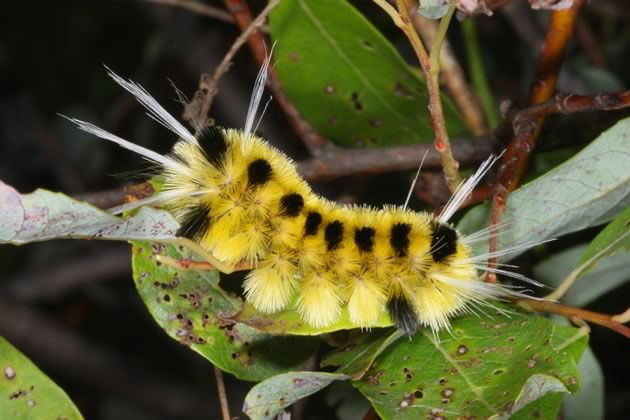 tussock moth caterpillar feeding on willow
