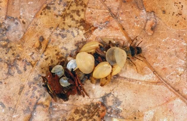 Caddisfly larvae, protected by their fanciful cases, animate the detritus on the bottom. Photo by Don Scallen.