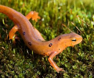 Eastern red-spotted newt, juvenile or eft phase. Photo by Robert Mccaw.