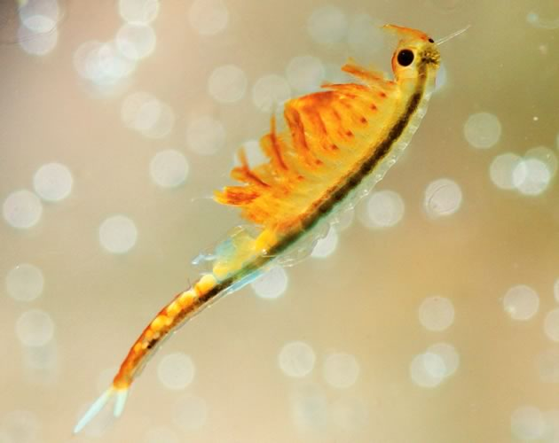 Fairy Shrimp. Photo by Don Scallen.