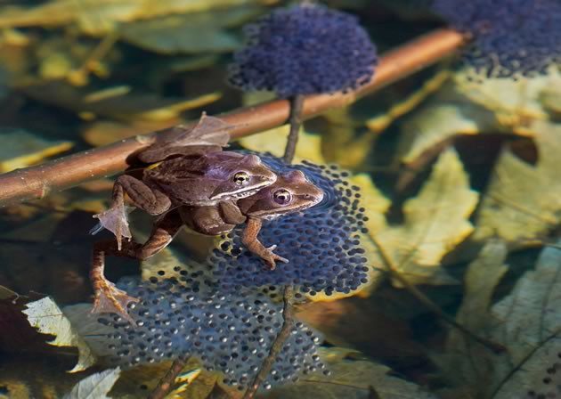 Wood frogs mating on egg masses. Photo by Robert Mccaw.