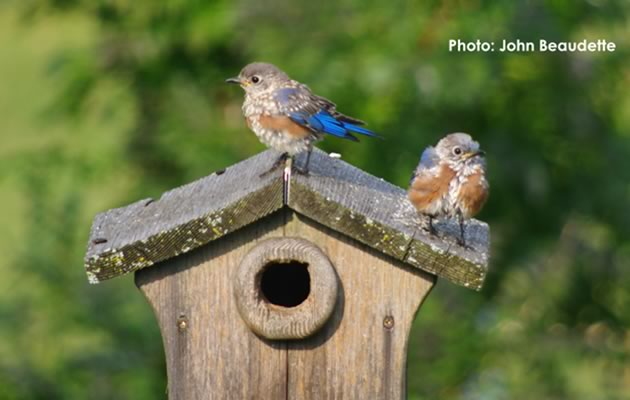 Success! Bluebird fledglings. Photo by John Beaudette.