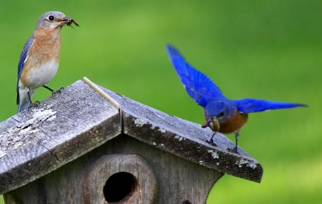 Bluebird parents with food for young, male on right. Photo by John Beaudette.