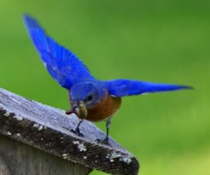 Bluebird parent with food for young. Photo by John Beaudette.