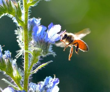 On our summer 2017 cover, honeybee on viper's bugloss. Photo by Debbie Gray.
