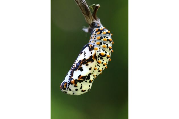 Baltimore checkerspot chrysalis