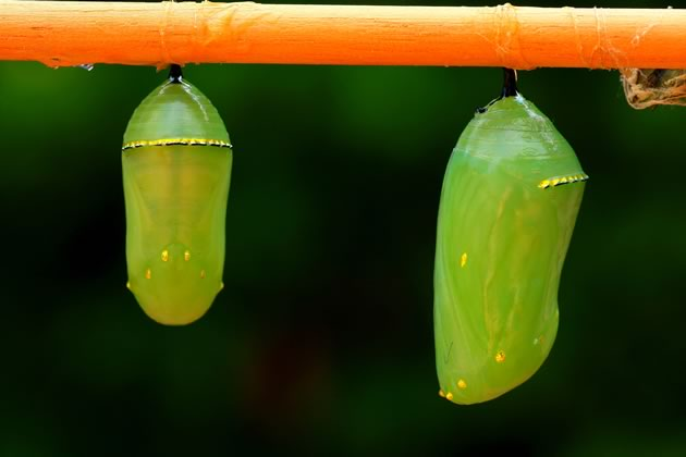 monarch butterfly chrysalides