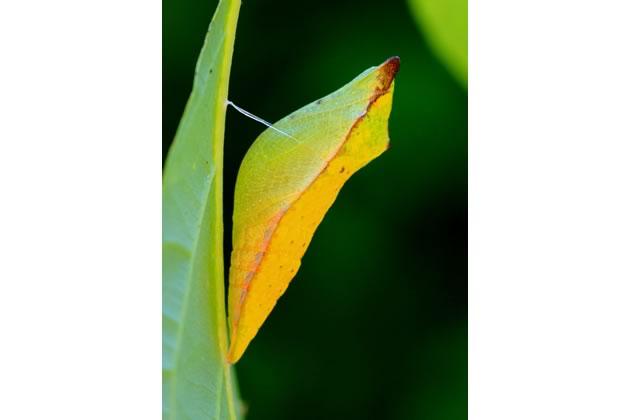 spicebush swallowtail chysalis