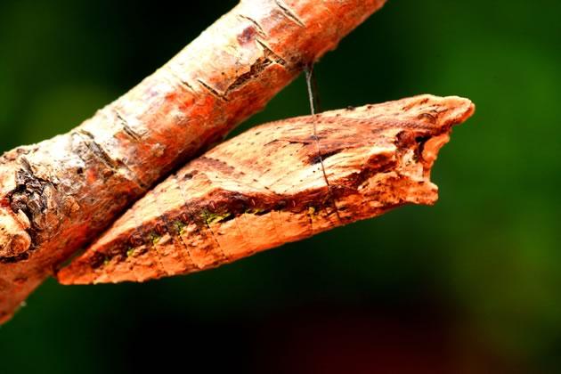 Tiger swallowtail chrysalis