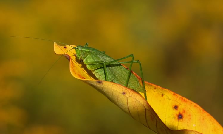 another broad winged bush katydid