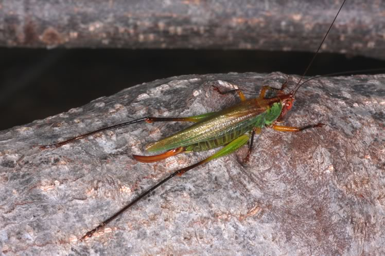 black legged meadow katydid female showing egg laying appendage