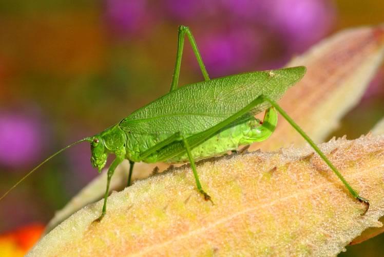 broad winged bush katydid