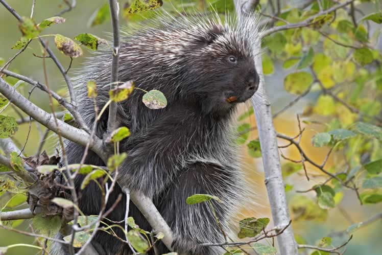 A porcupine. Photo by Robert McCaw.