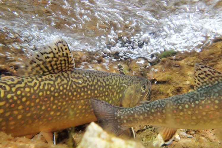 Brook trout. Istockphoto © Mlharing.