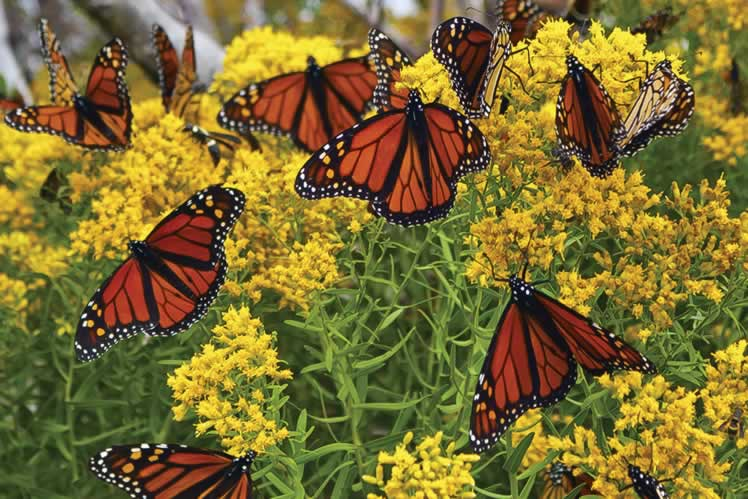 Monarch butterflies on goldenrod. Shutterstock © Lynnya