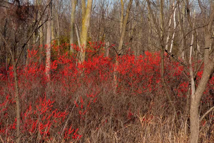 A profusion of winterberry. Photo by Don Scallen.
