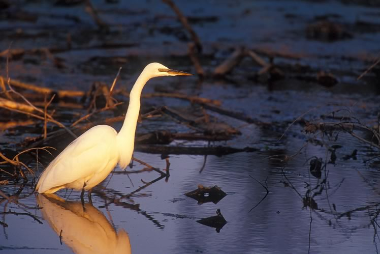 A great egret at sunset. Photo by Robert McCaw.