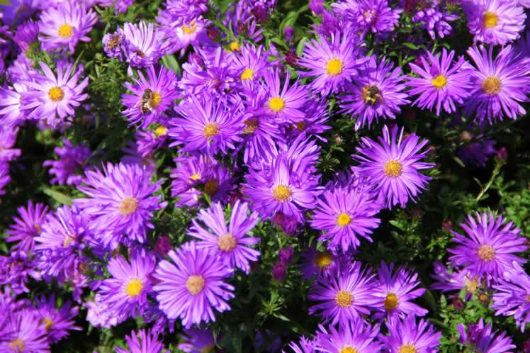 Honeybees feast on New England aster. Photo from Pixabay.