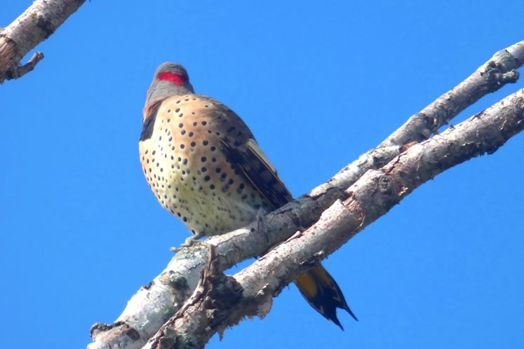 northern flicker showing back of headSS