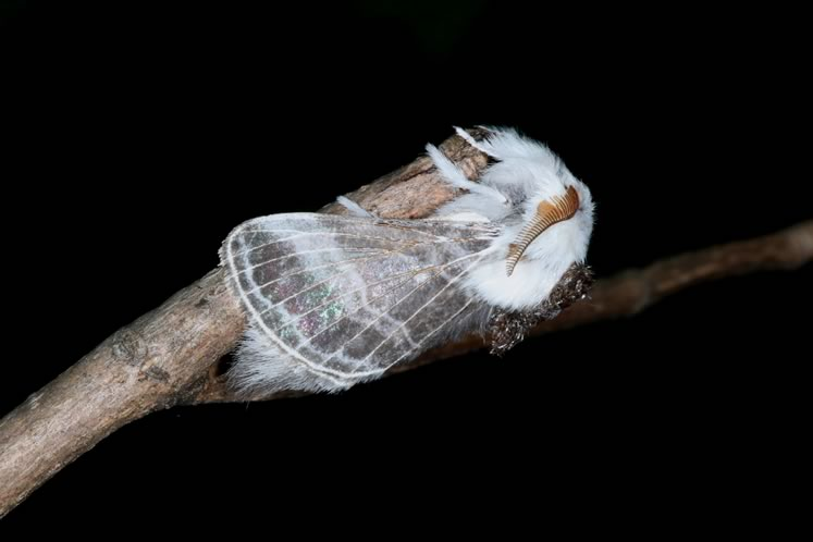 tolype moth