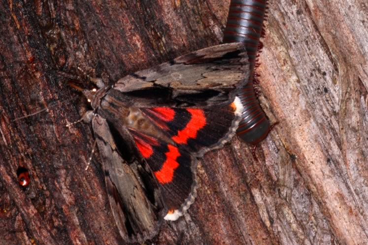 ultronia underwing moth and millipede at moth bait