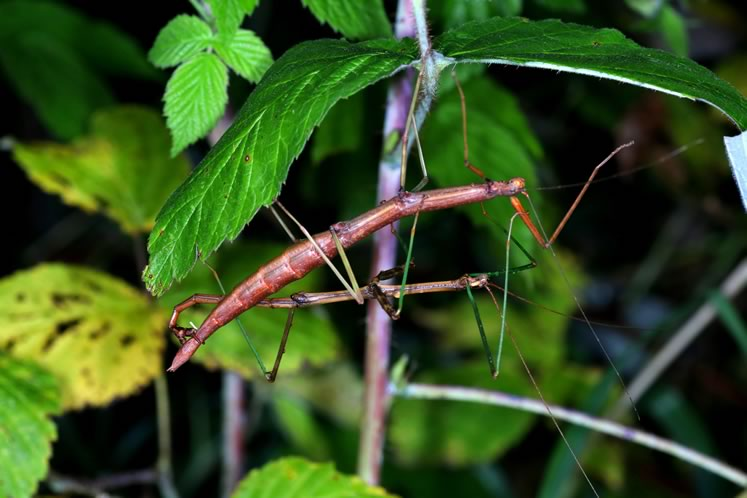 walking sticks mating
