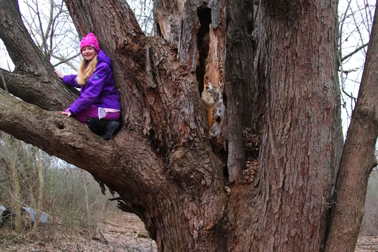 The Diameter at Breast Height (DBH) of the Ken Whillans silver maple is 1.77 metres, and its circumference is 5.59 m or just over 18 ft. Impressive.