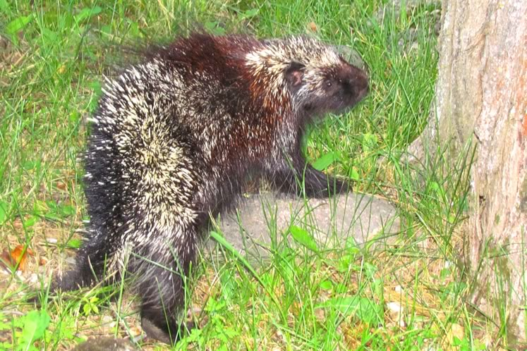 Porcupines bristle with 30,000 quills that can penetrate flesh more effectively than hypodermic needles.