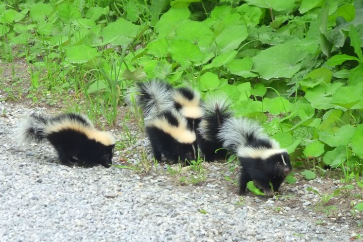 Skunks, in contrast to porcupines, are positively cuddly with soft, luxuriant fur, just begging to be stroked.