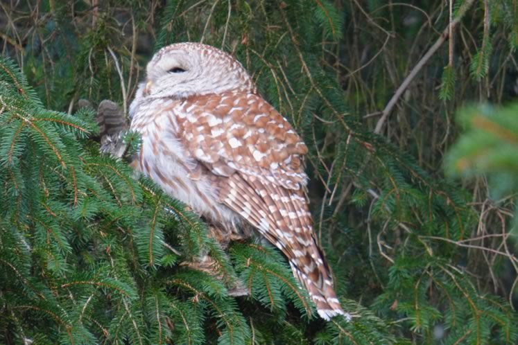 barred owl in spruce