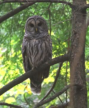 Barred owl on branch.