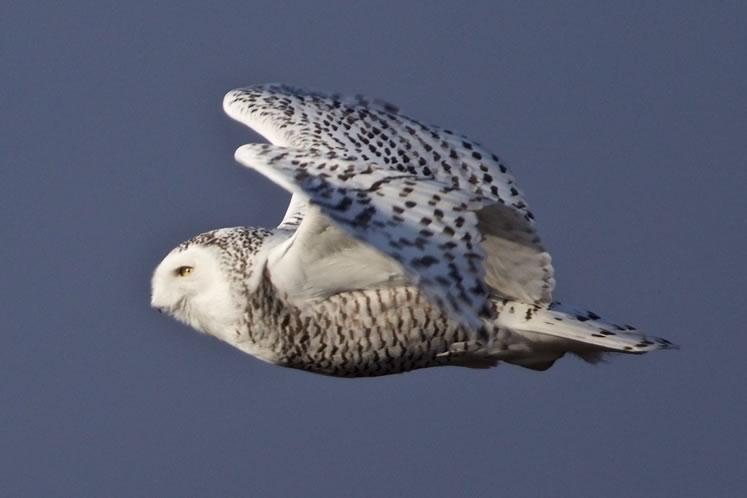 snowy owl credit Ian Jarvie