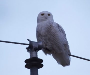 Snowy owl on hydro line. Photo by Ian Jarvie.