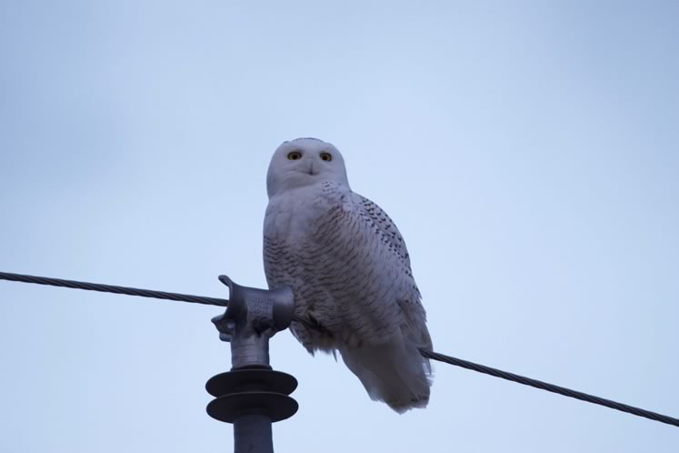 snowy owl on hydro line, credit Ian Jarvie
