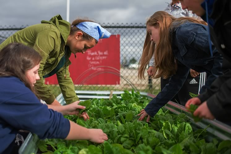 The fruits of their labour. Students April Messam, Michaela Todd, Megan Crane and Tessa Dandy harvest a bumper crop of spinach. Some will go home with the students for dinner later the same day. Photo by James MacDonald.