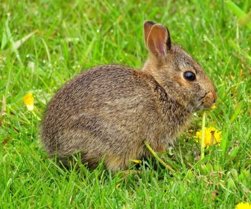 Eastern cottontail rabbit.