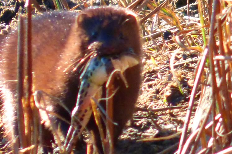mink with leopard frog