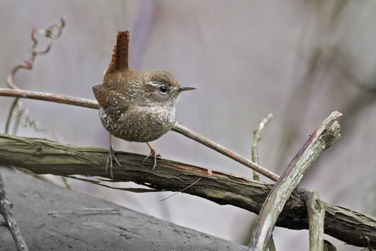 Wren, April 3. Photo by Robert McCaw.
