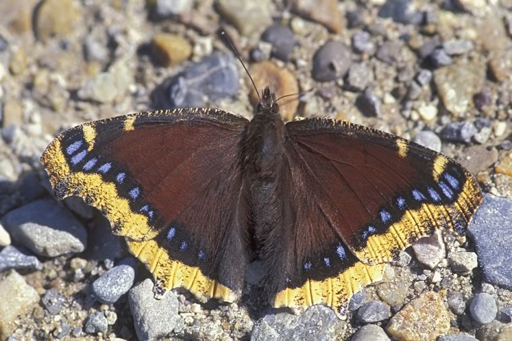 Mourning cloak, April 18. Photo by Robert McCaw.