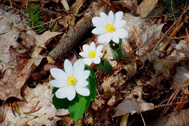 Bloodroot, April 18. Photo by Don Scallen.